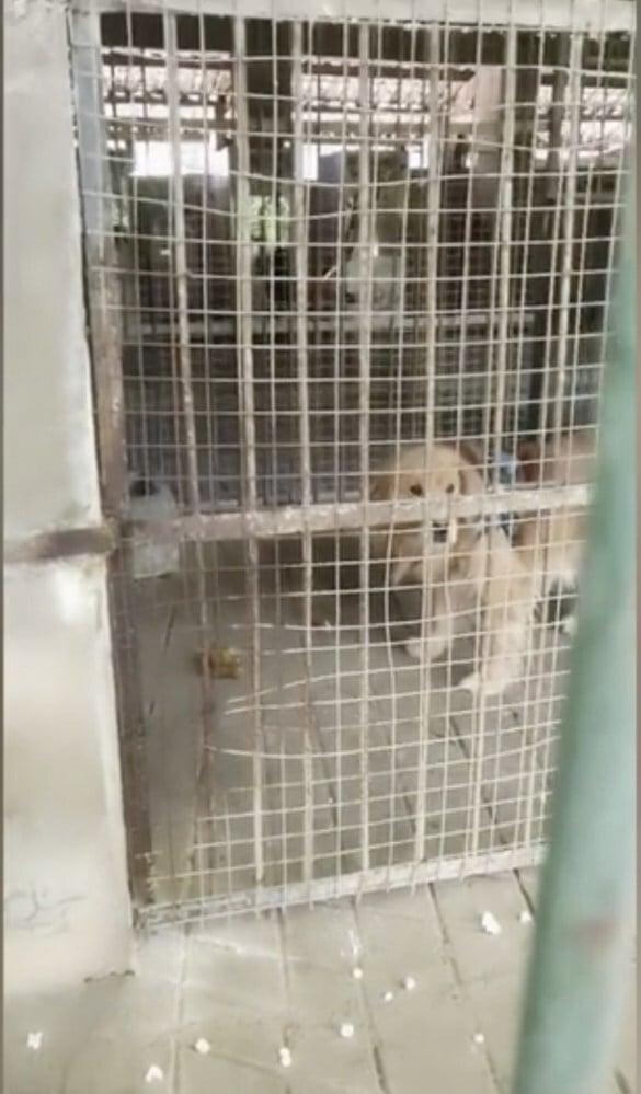 Il placido golden retriever visto nel video che indossa un'imbracatura nel recinto dei leoni.  Foto: dispensa