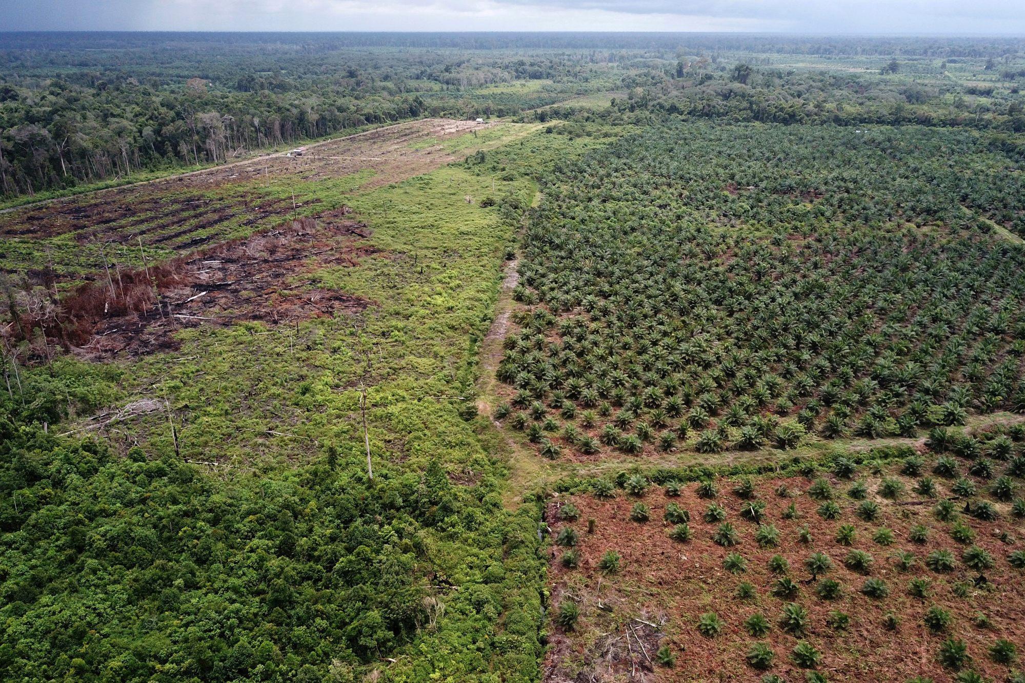 Perkebunan kelapa sawit di Aceh Selatan.  Indonesia adalah penghasil utama minyak sawit.  Foto: AFP