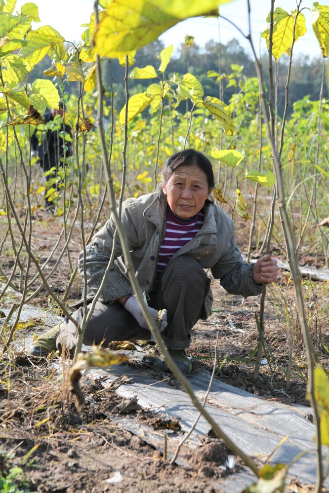 A worker at the Bombyx farm in China. Silkworms feed on the leaves of mulberry trees.