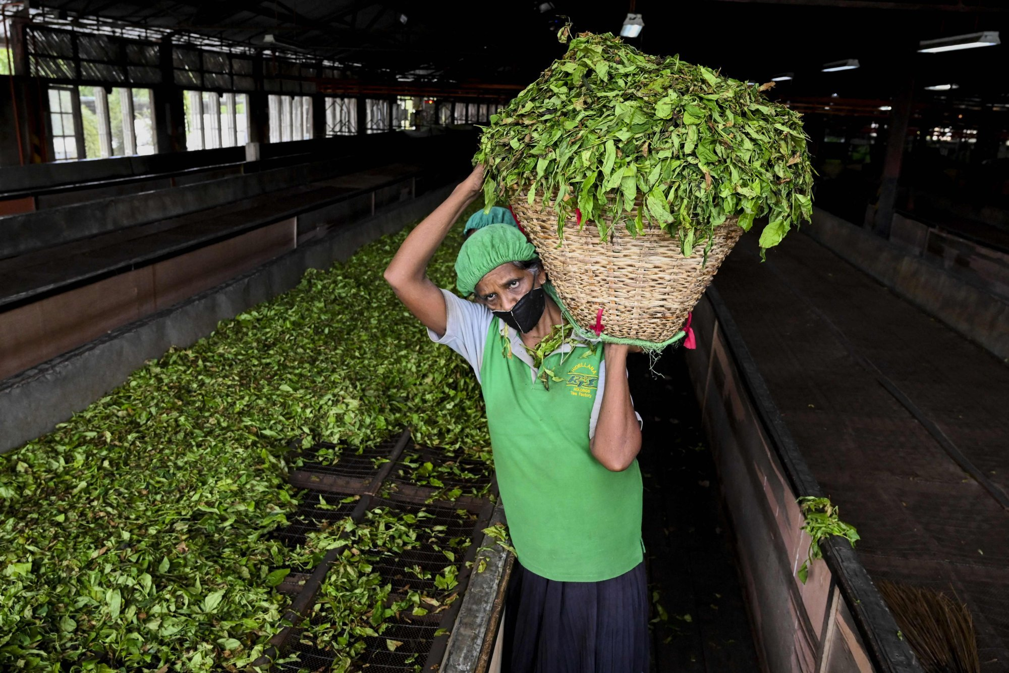 A labourer works at a tea plantation in Ratnapura. Photo: AFP