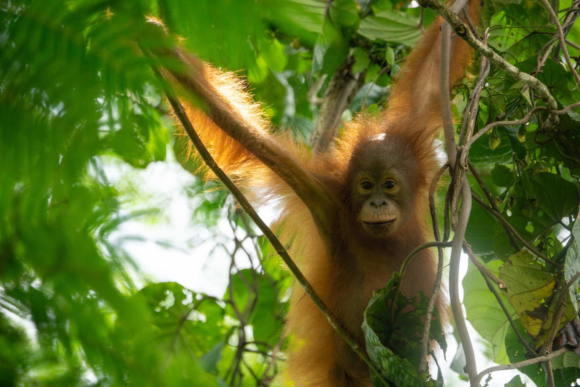 A young orangutan at Bukit Piton Forest Reserve. Photo: courtesy of Simon Werren