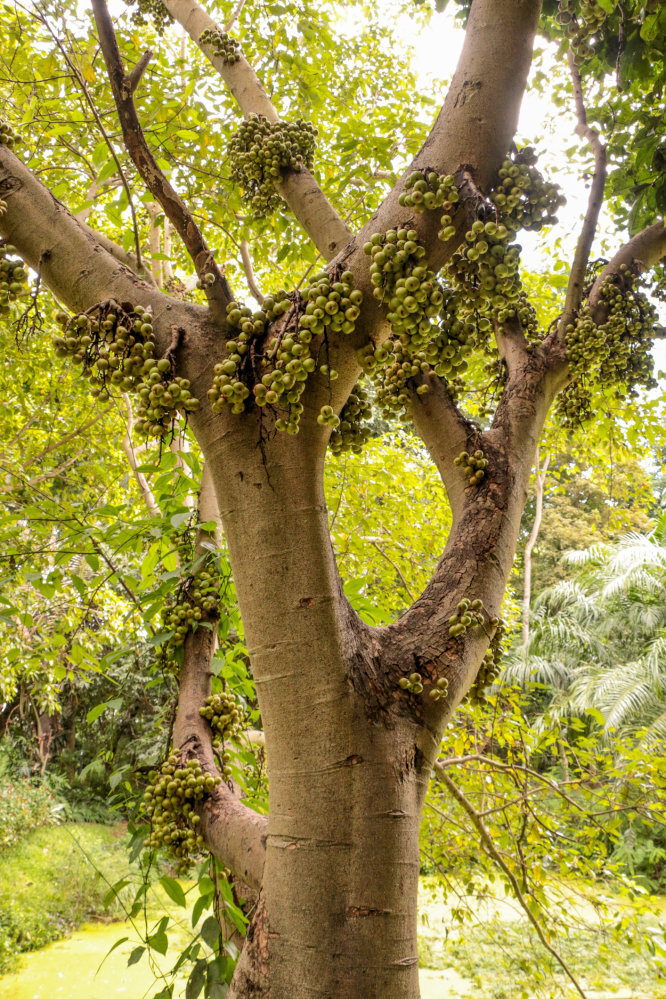 Ficus racemosa, the cluster fig tree, is one of the most prolific fruit trees in the world. Photo: Getty Images