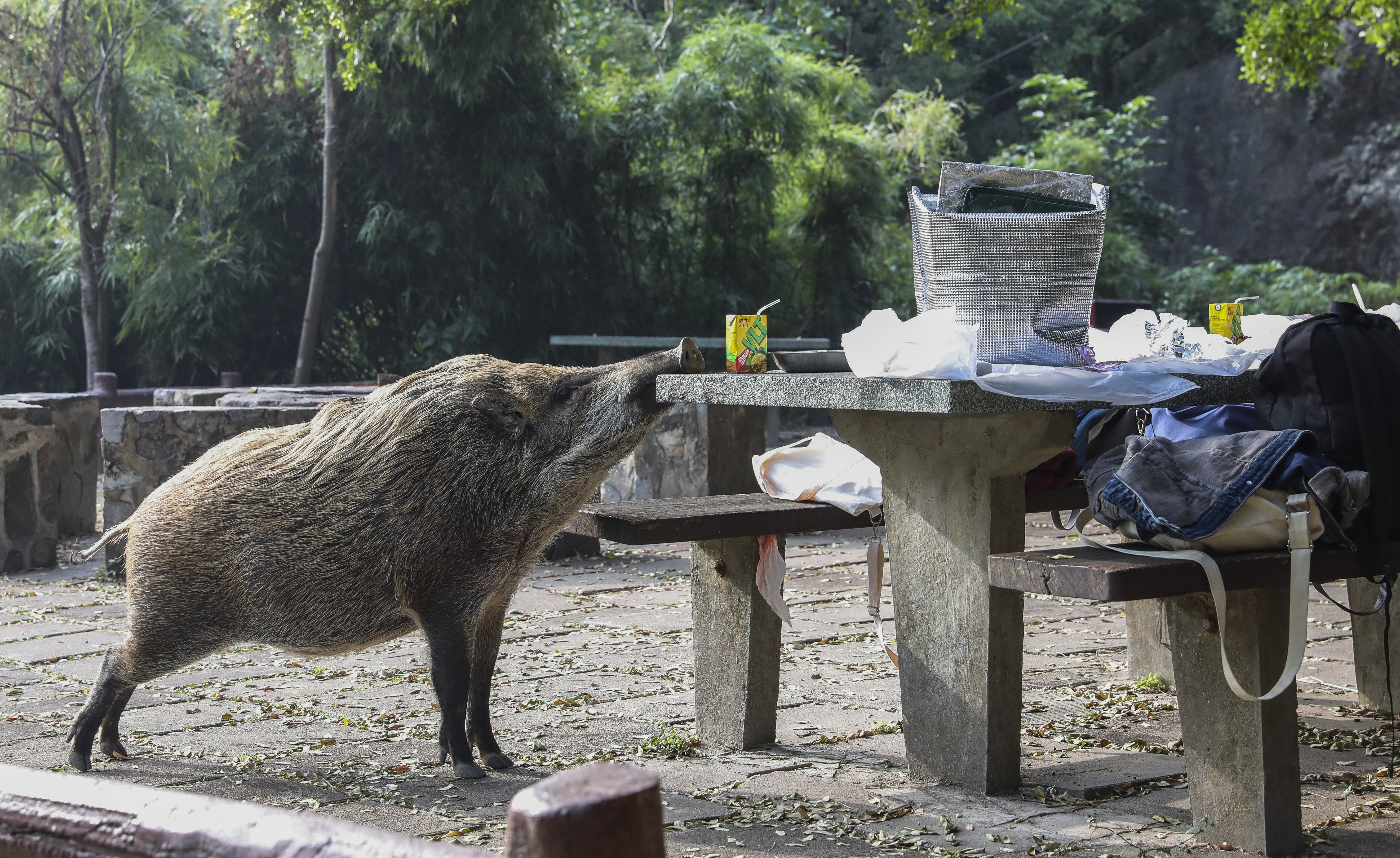 Wild boar   South China Morning Post