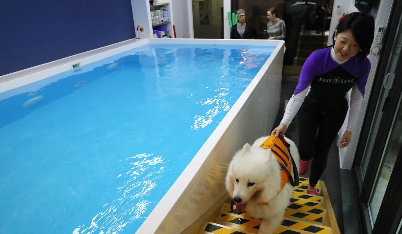 Tan takes Ellie the Samoyed to the hydrotherapy pool. Photo: Edmond So