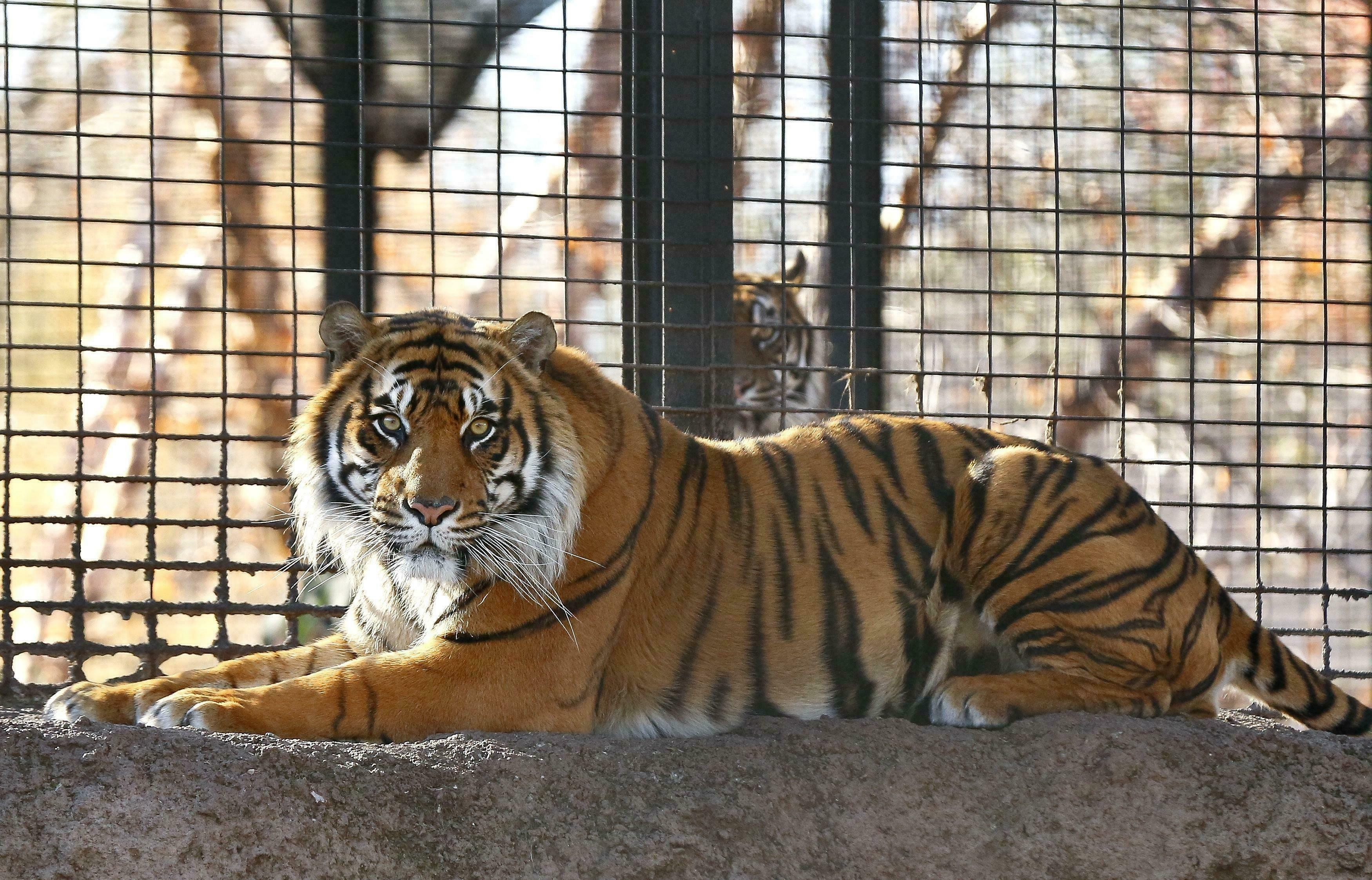Bengal tiger attacks Jonathan Kraft, founder of Keepers of