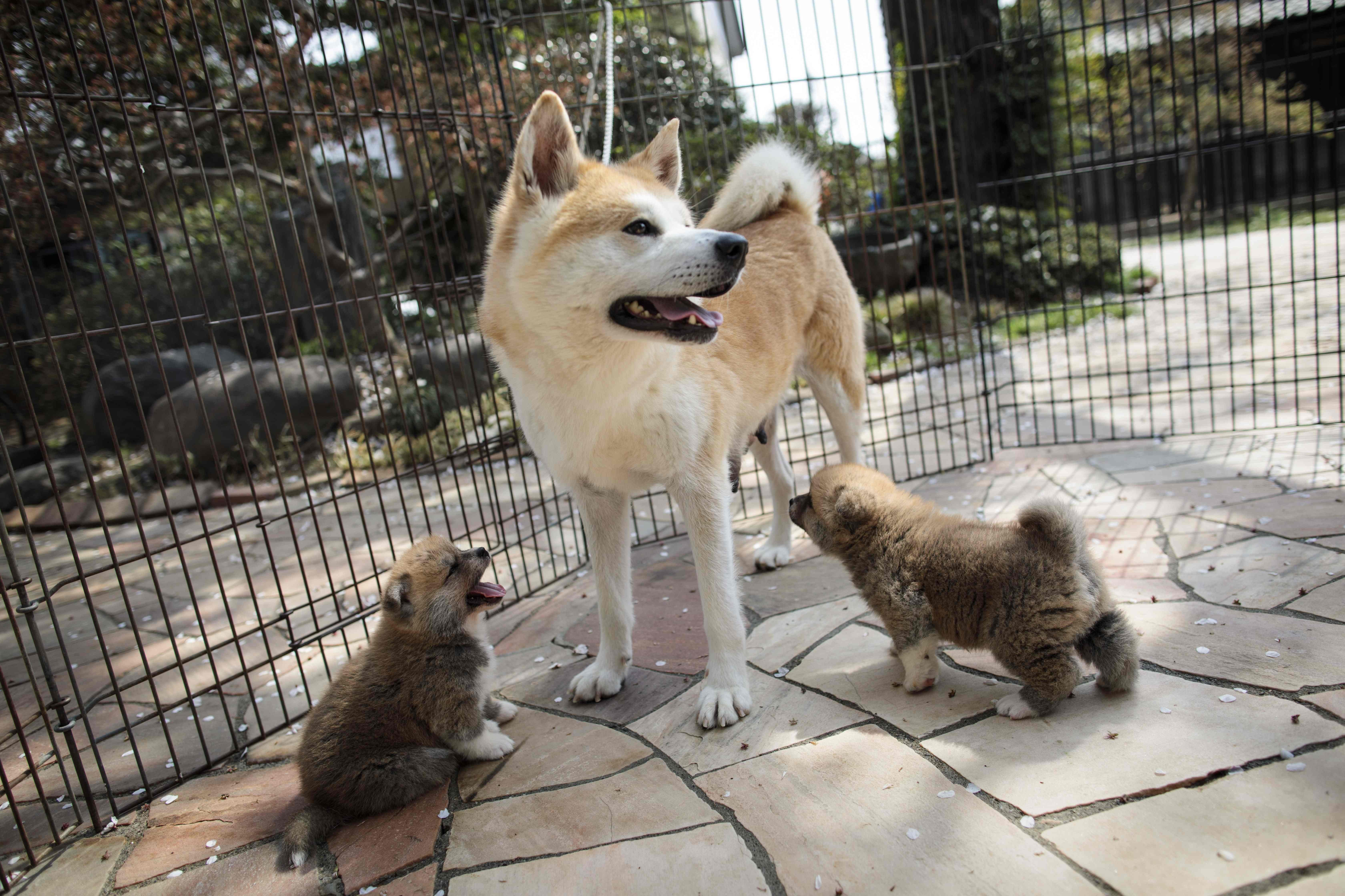 Japan's home-grown dogs may be national treasures but they face