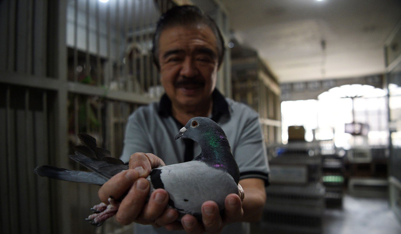 In the Philippines' intense 600km homing pigeon race, birds face the threats of searing heat, being eaten and even kidnapping