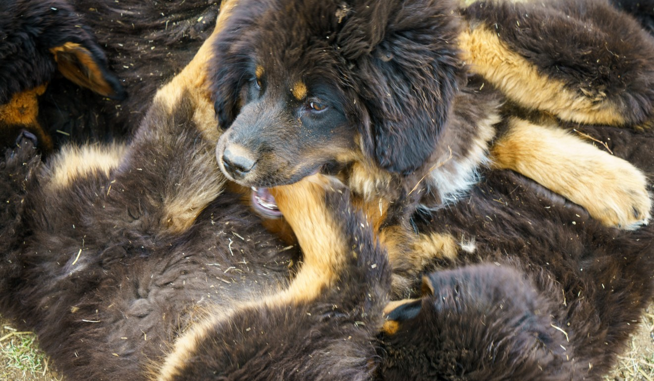 The dogs that could stop Mongolian grasslands turning to desert – return of the bankhar, traditional herder's companion