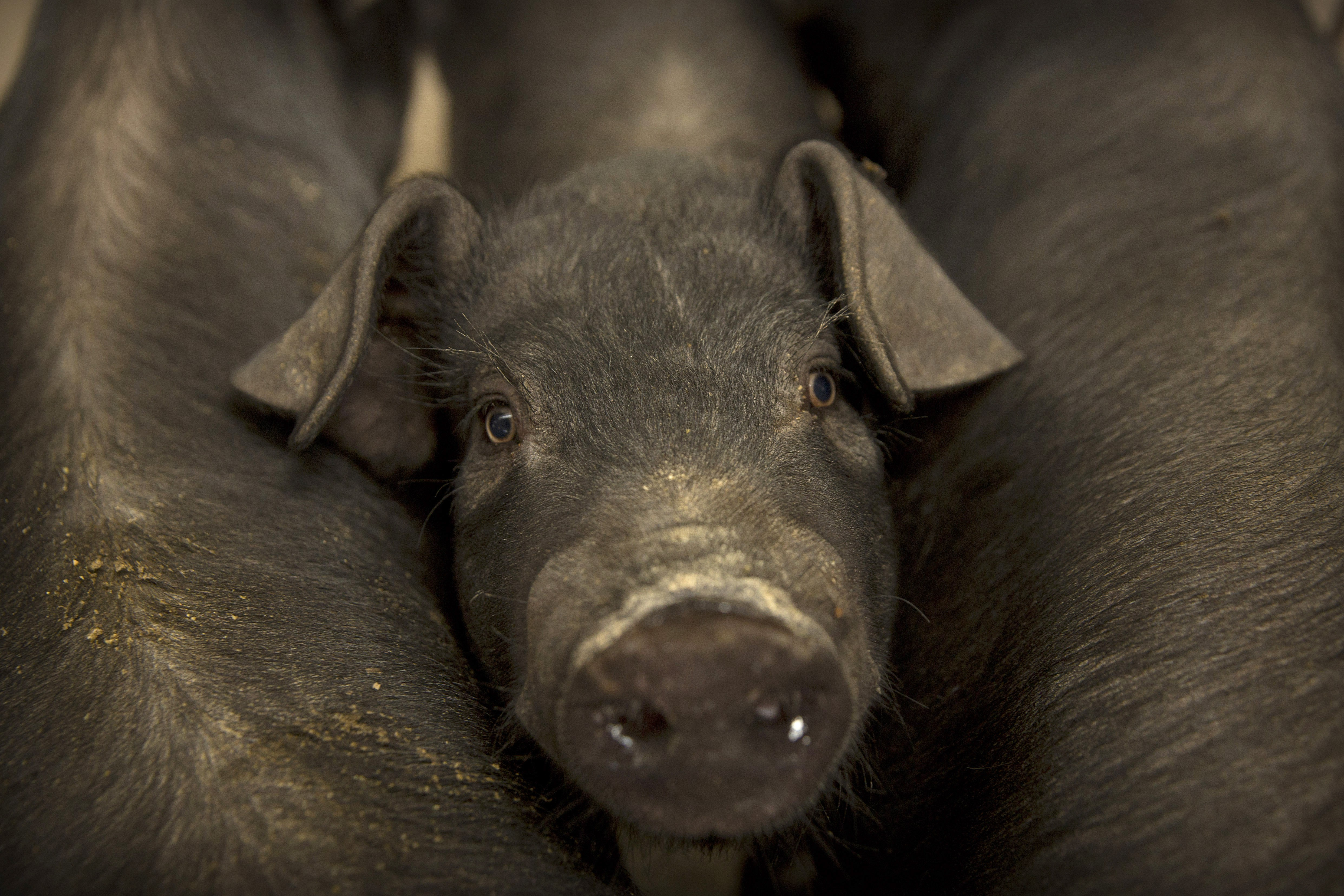 Chinese pig' remark lands UBS in trouble as state firm excludes