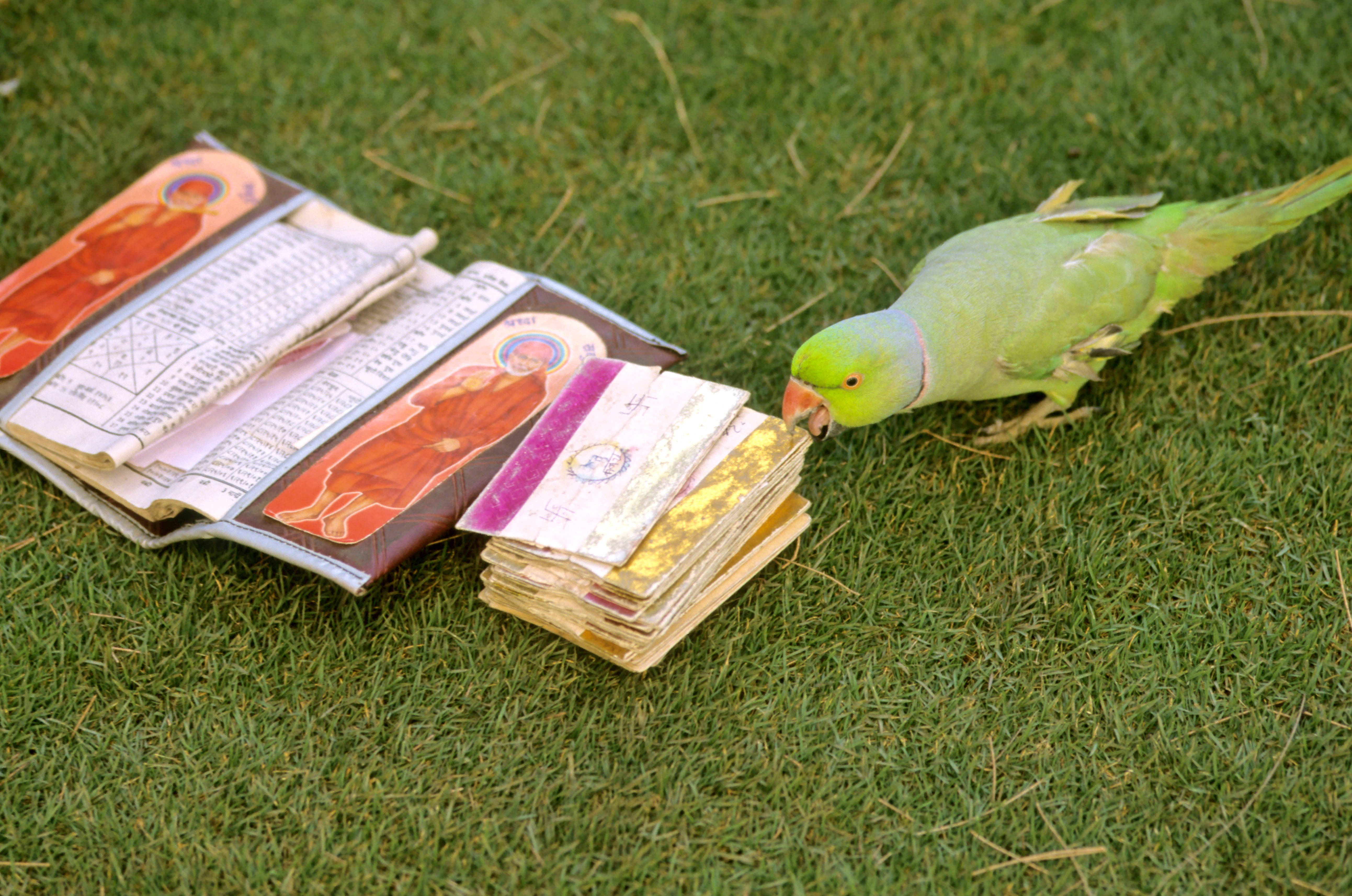 Clairvoyant parrots in India a dying breed, with astrologers