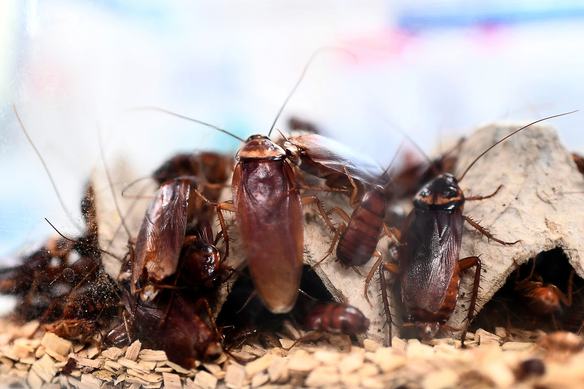 Superbugs: cockroaches becoming immune to insect sprays and