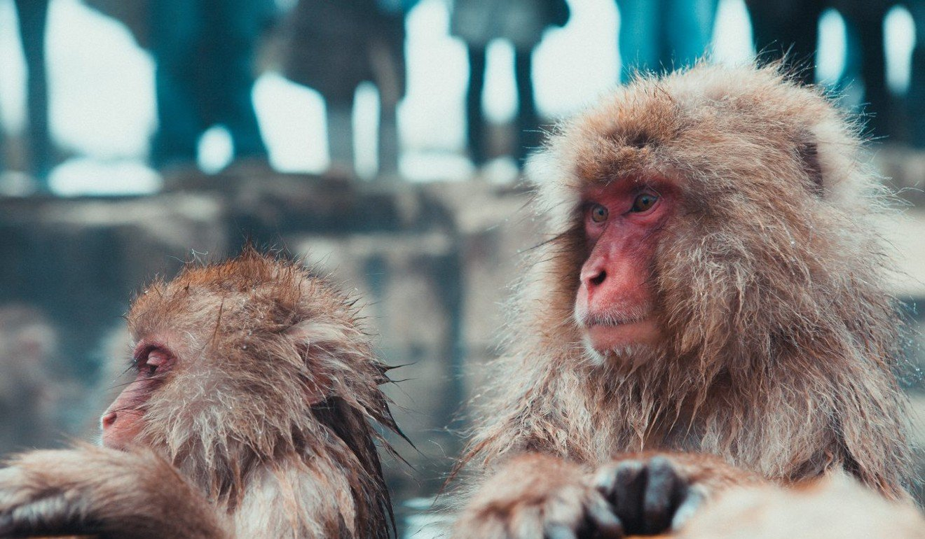 A visit to see the snow monkeys involves a day trip from Hakuba, but is well worth the effort. Photo: Jonathan Forage