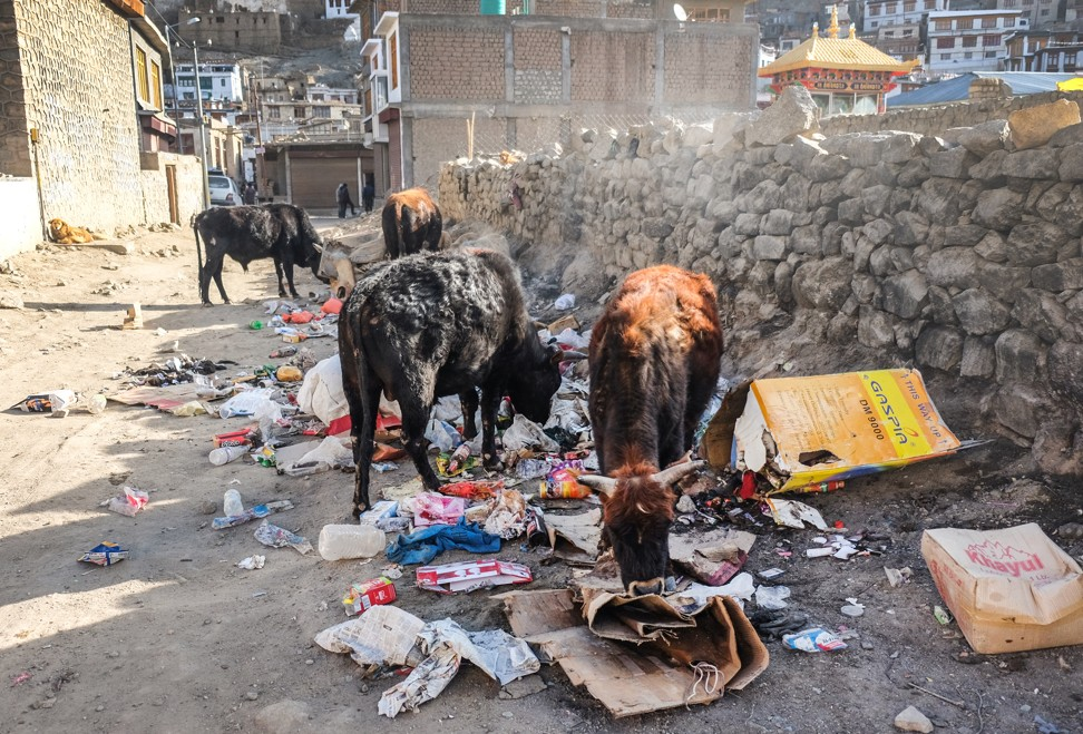 Feral cattle graze on rubbish left on the street. Photo: Shutterstock