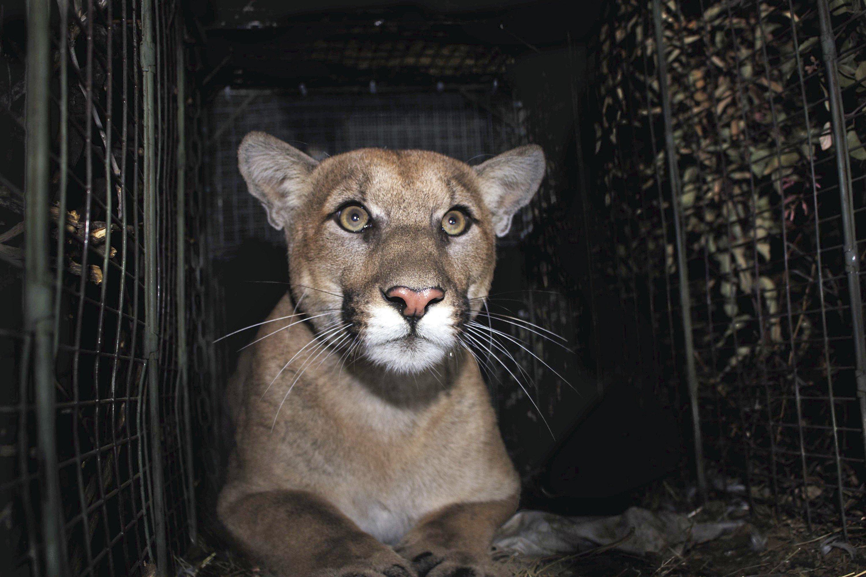 Mountain lion bites boy on head outside rural US home