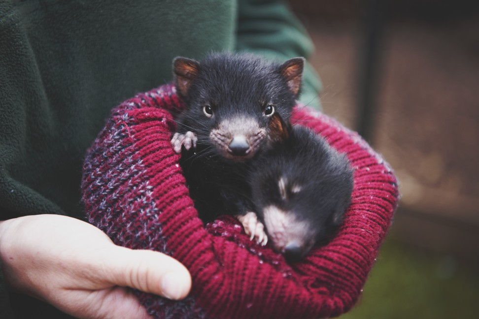 Why are Chinese tourists following Xi Jinping to Australia? To hunt Tasmanian devils