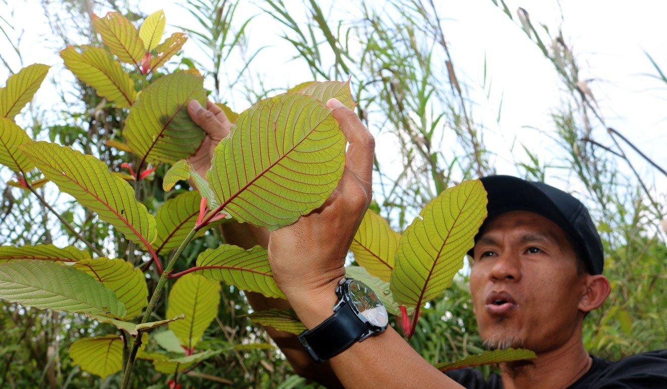 Kratom, the herbal supplement from Indonesia that has US drug agencies worried