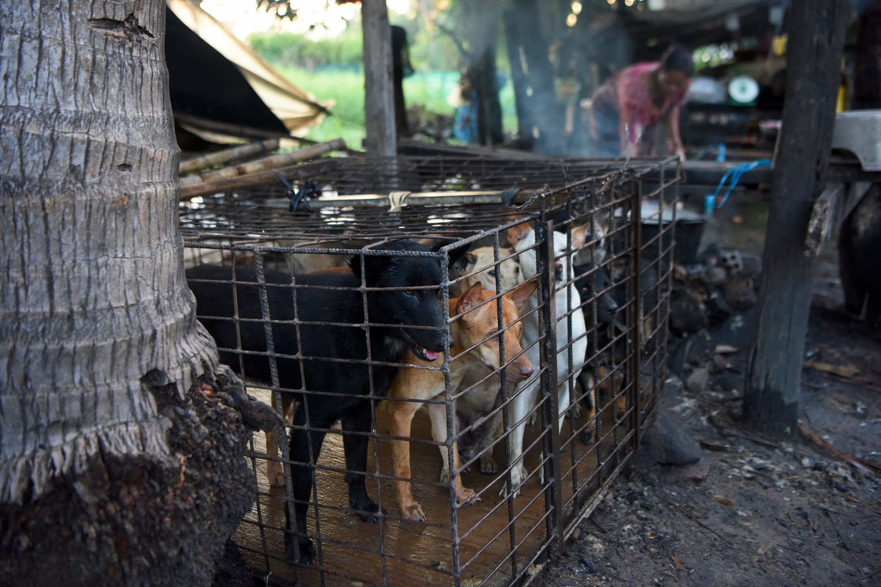Admirable Inside Cambodias Brutal Dog Meat Trade Which Claims Short Links Chair Design For Home Short Linksinfo
