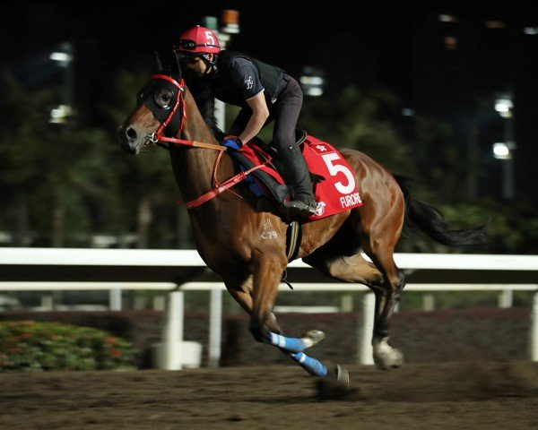 Furore gallops at Sha Tin on Thursday morning.