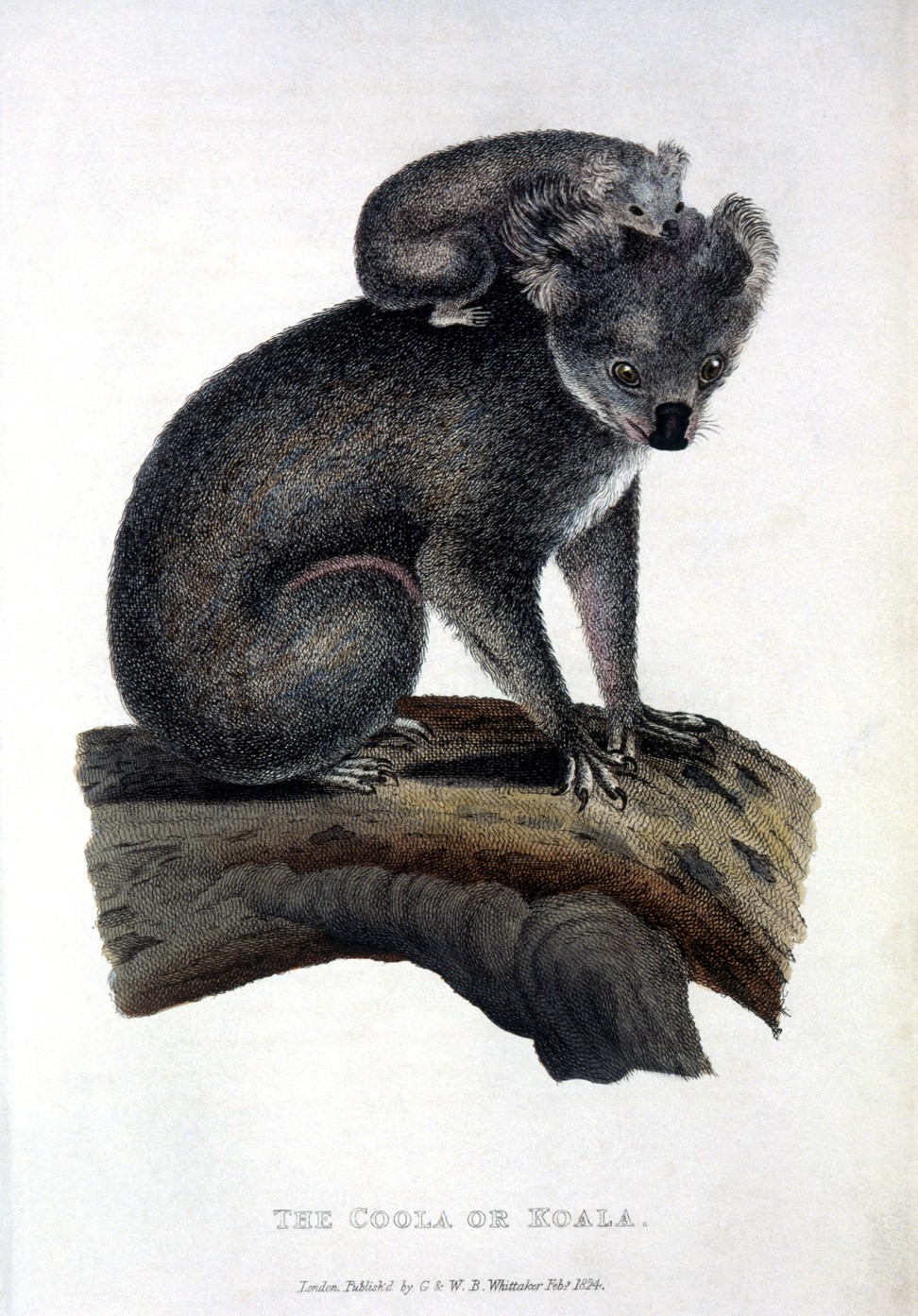 The Aboriginal origins of the word koala, the marsupial often incorrectly called a bear