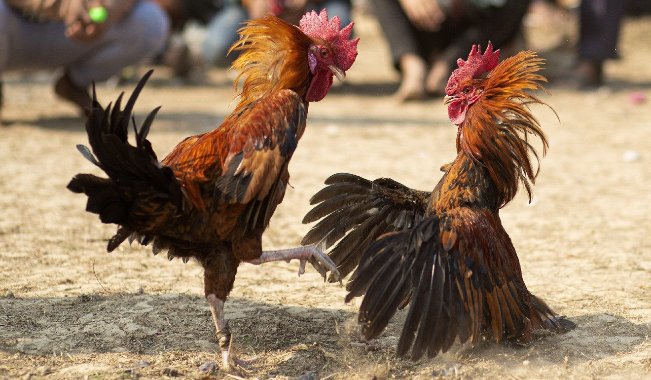 Man killed by own rooster at cockfighting event in India