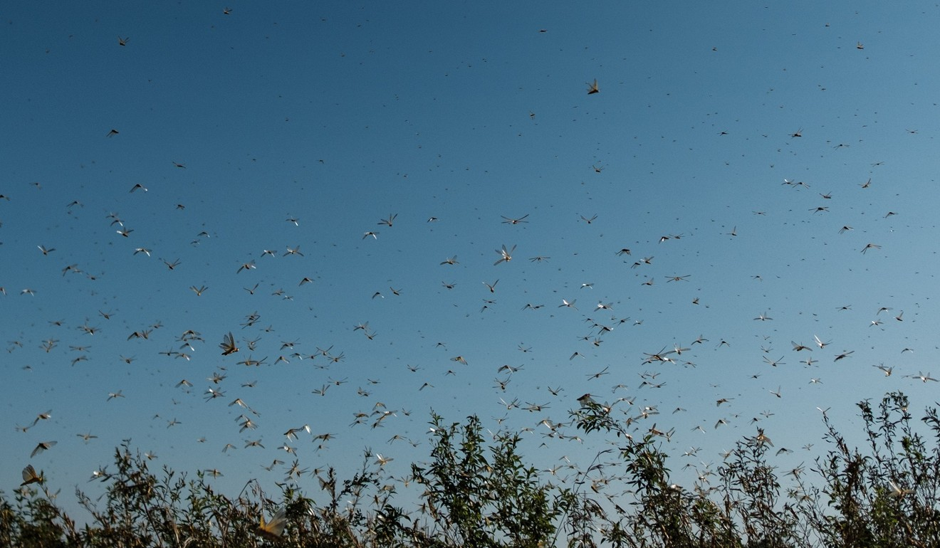 China's green zombie fungus could hold key to fighting east Africa's plague of locusts