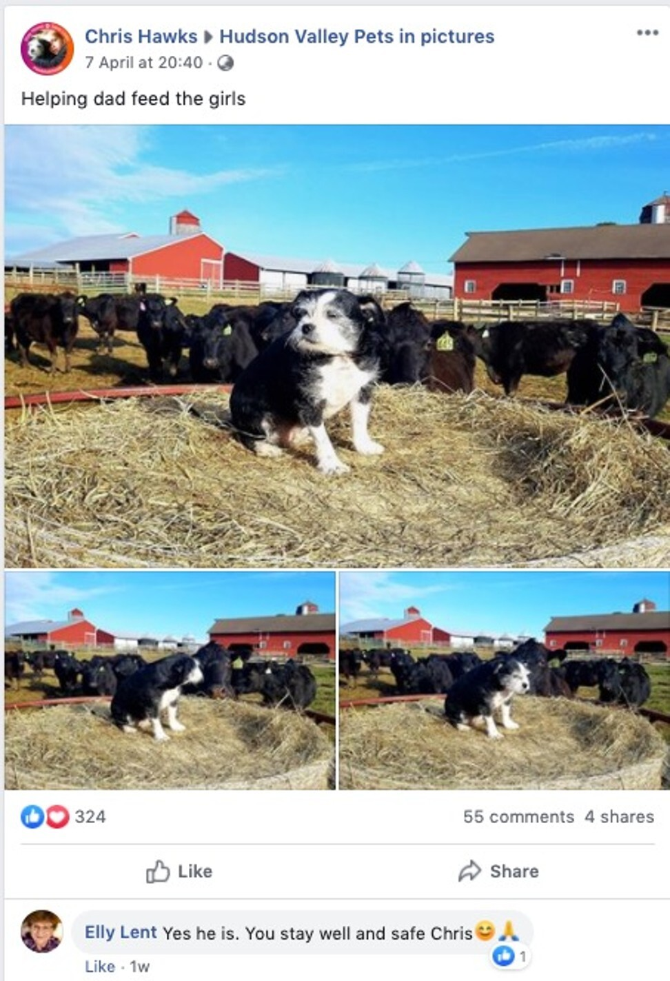 Tyson, a wire-haired terrier mix who is recovering from herniated disc surgery, sits on a mound of hay surrounded by cows. Photo: Facebook / Chris Hawks