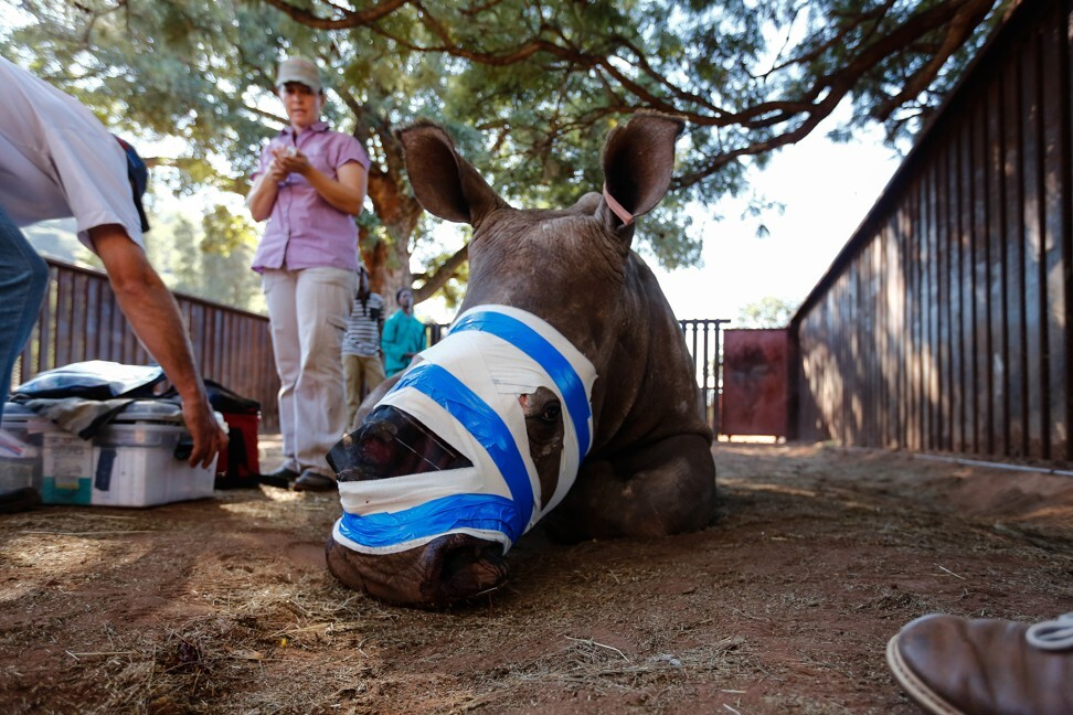 Hope the rhino recovers from facial-reconstruction surgery in May 2016, in Limpopo, South Africa, after her horn was hacked by poachers. Photo: Getty Images