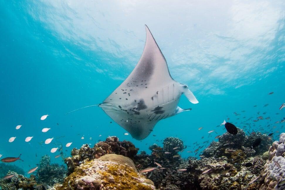 InterContinental Maldives Maamunagau Resort works with Manta Trust to protect rays in its lagoon. Photo: InterContinental
