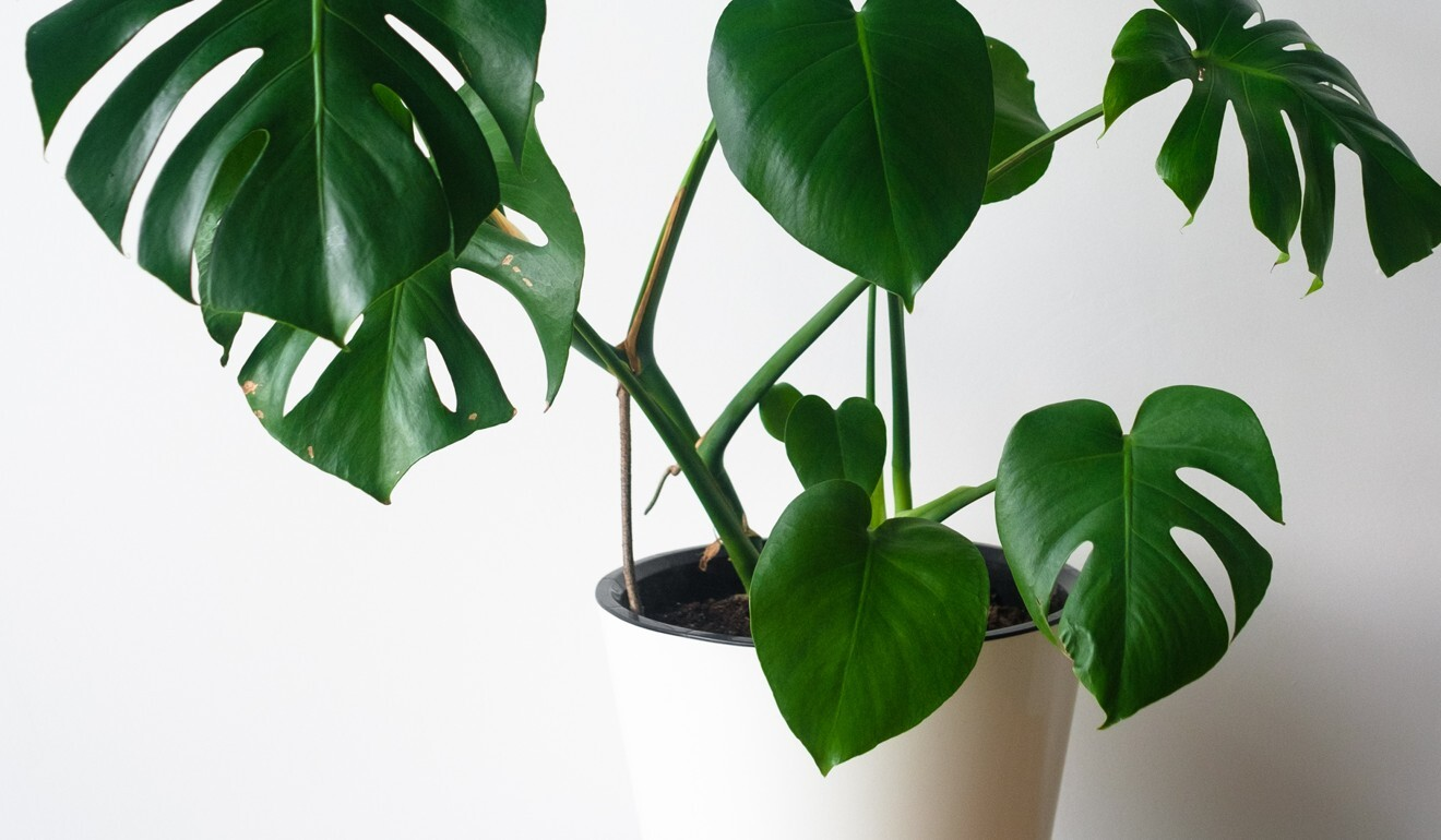 A mature Monstera Deliciosa now fetches at least 3,000 pesos (US$62), compared with as little as 800 pesos (US$37) before. Photo: Shutterstock