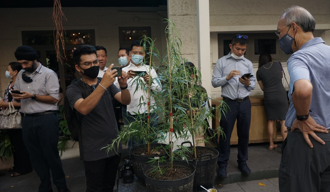 Guests take a photo of a cannabis plant at a hemp promotion event. Photo: Vijitra Duangdee