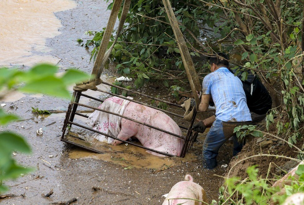 Farmers rescuing hogs from a flooded farm in Weihui village near Xinxiang city in Henan province on July 23, 2021. Photo: Simon Song