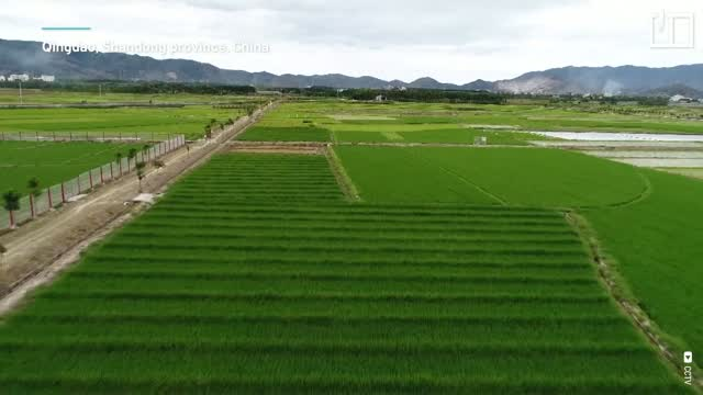 Growing rice in seawater