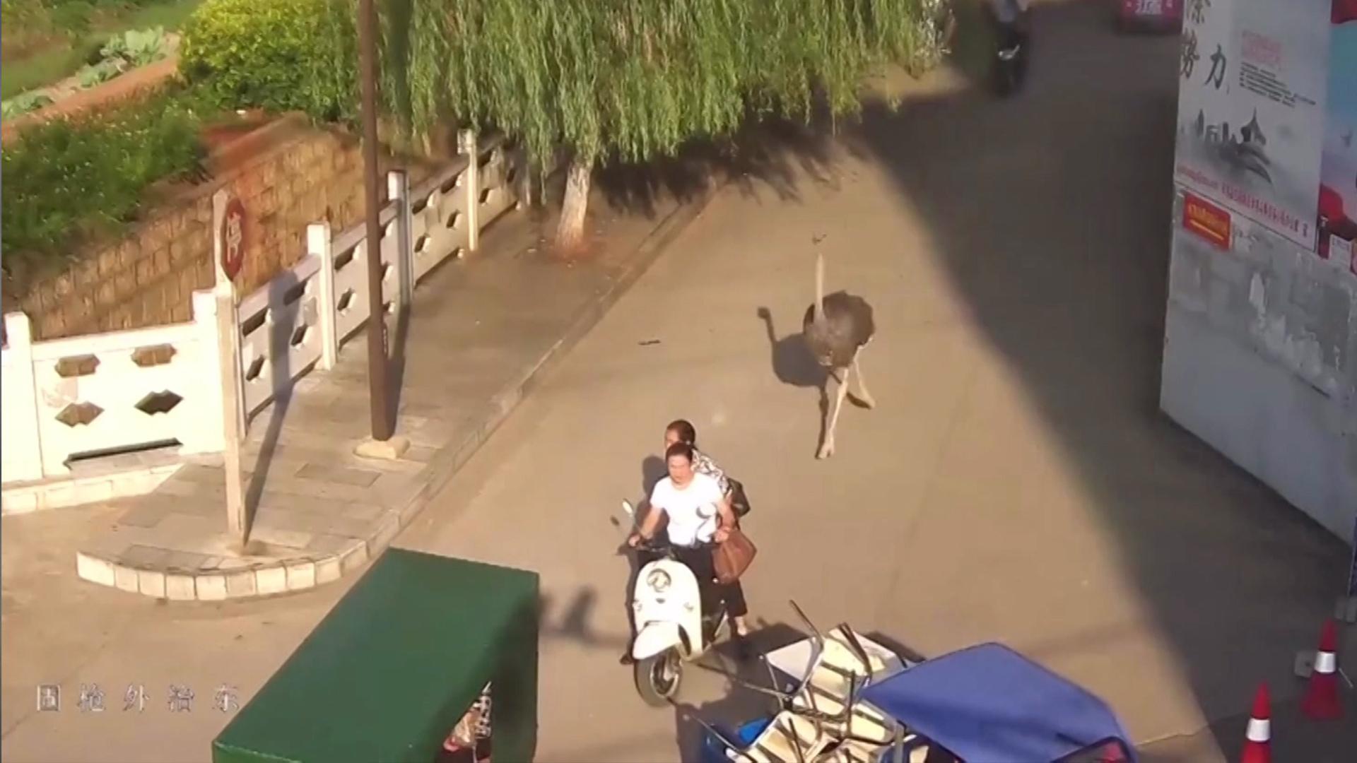 Pet ostrich runs free in China