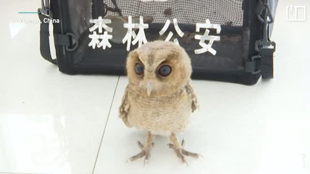 Collared scops owl in China