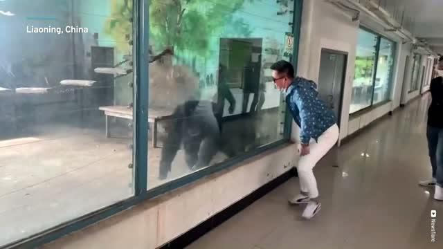 Monkey in China mimics man's movements
