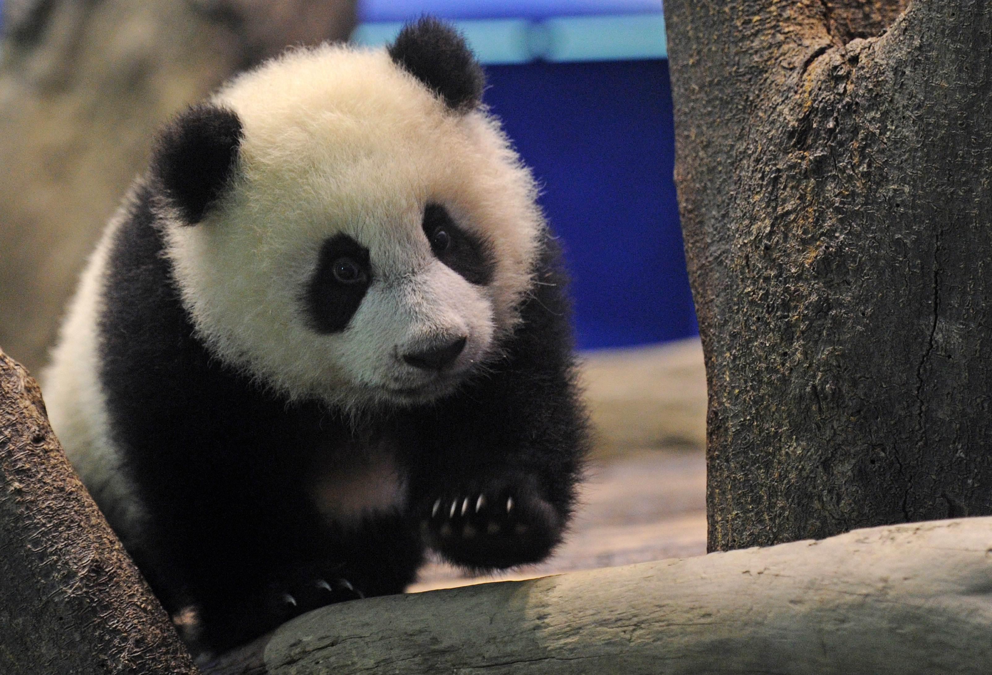 Panda is moving toward the tree