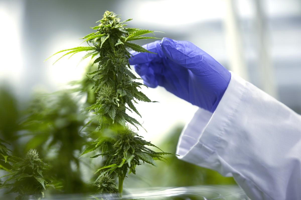 disadvantages of marijuanas