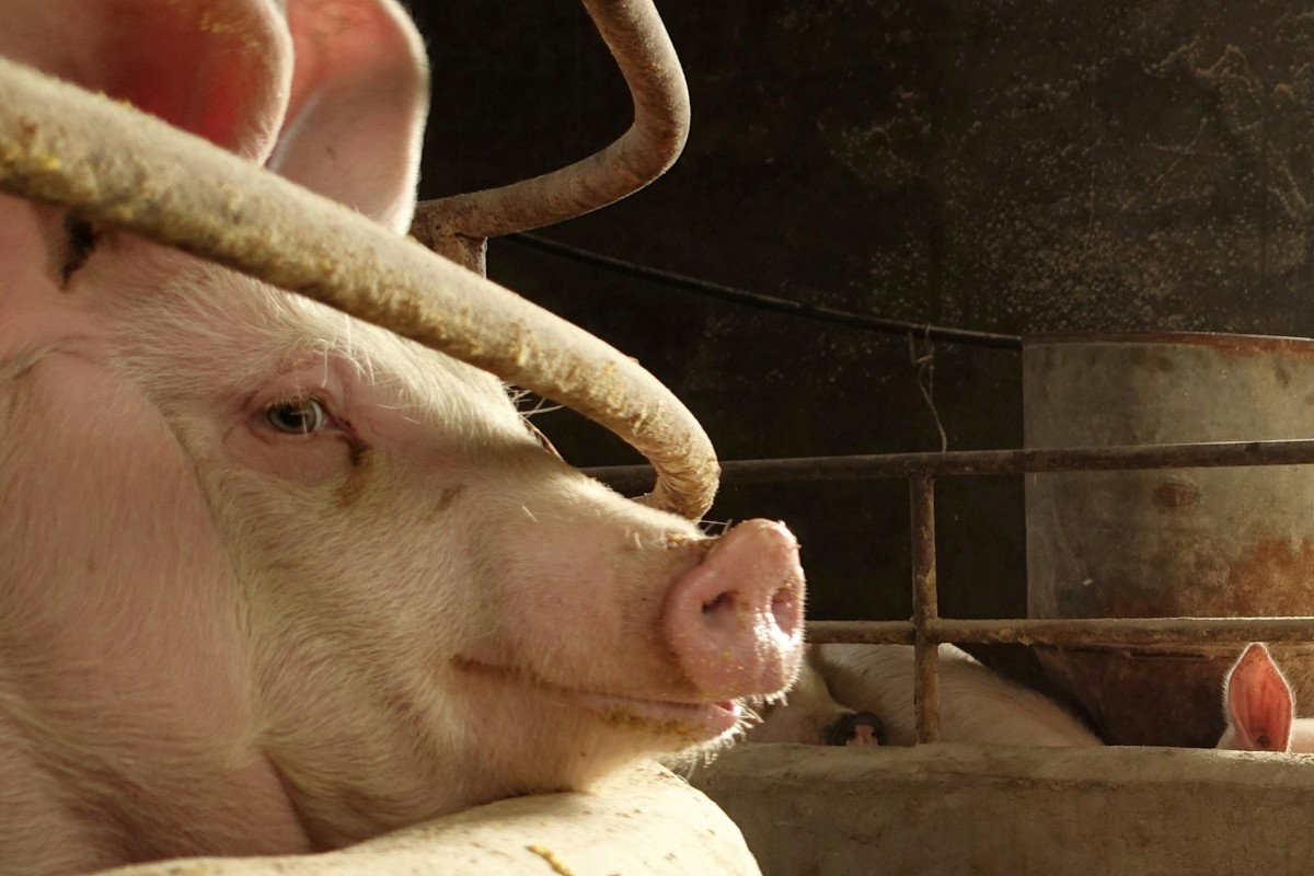 Chinese researchers isolate strain of African swine fever in 'first step' towards vaccine