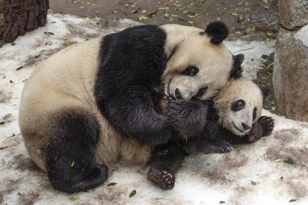 San Diego Zoo To Return Beloved Giant Pandas Bai Yun And Son Xiao