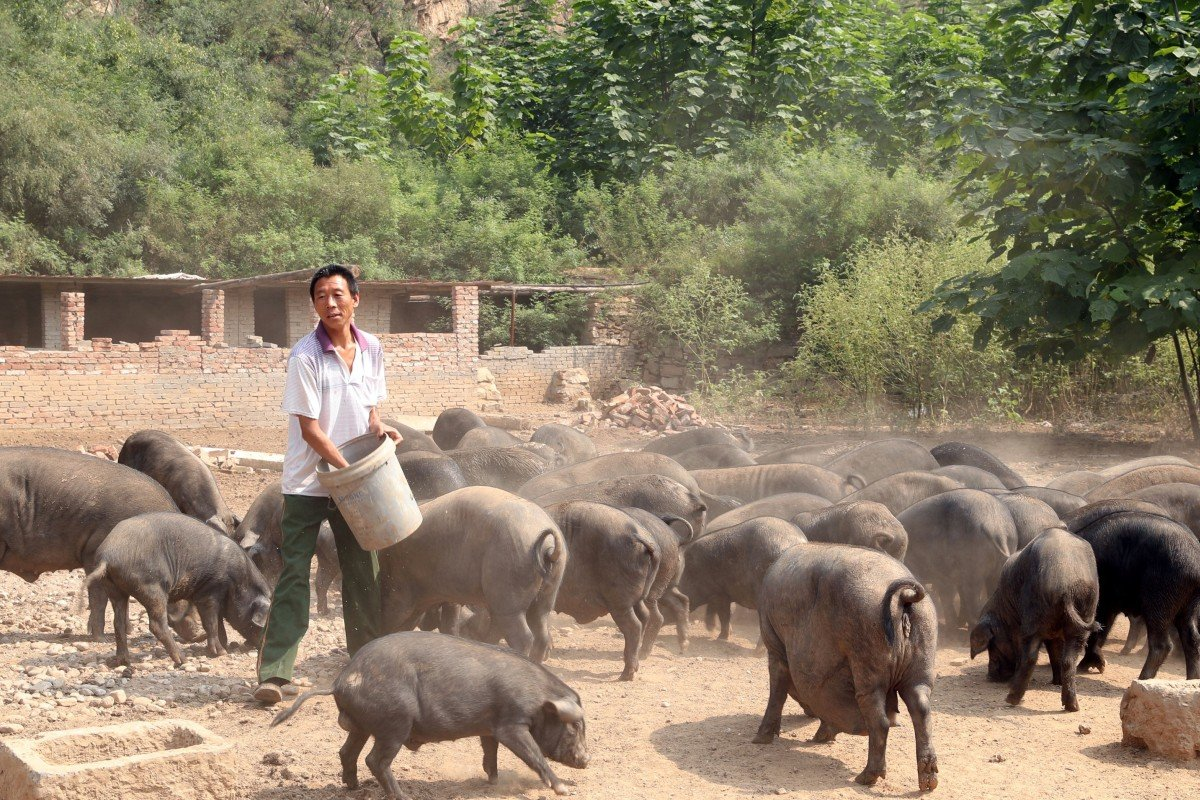 China declares victory over African swine fever but cover-up ...