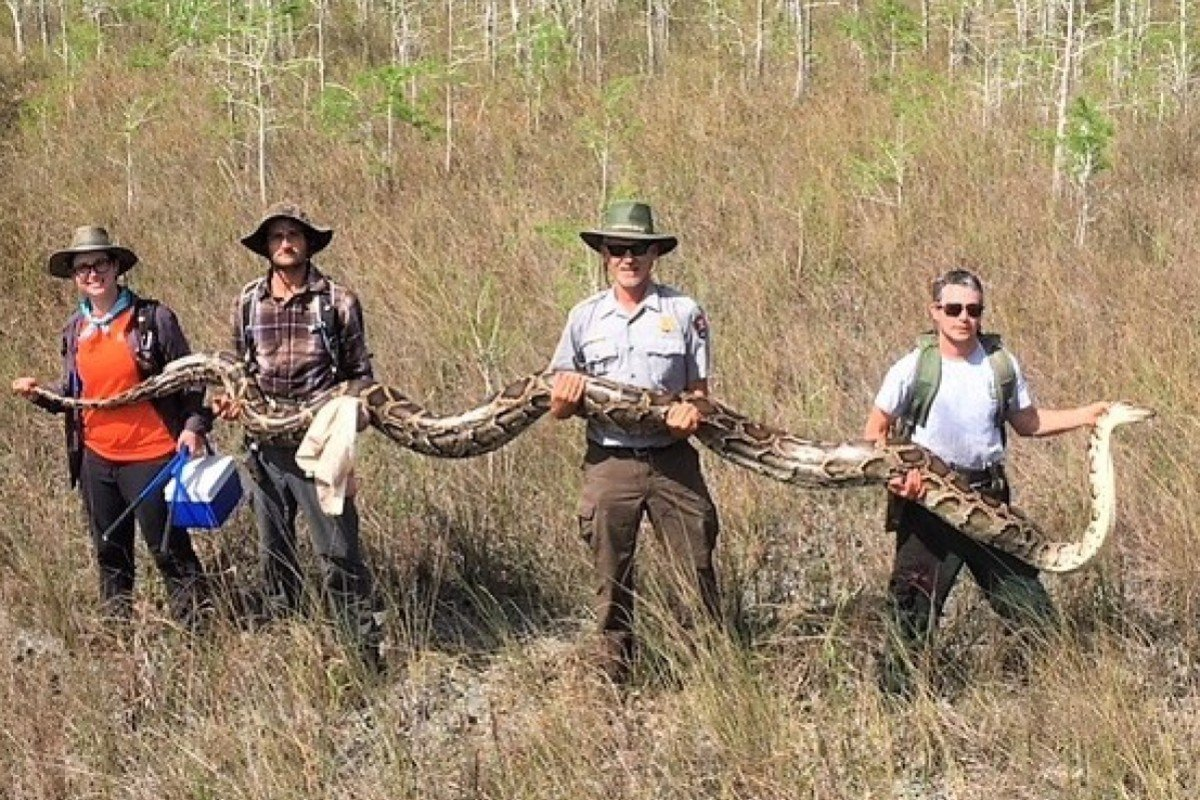 Snake hunters capture largest python in Florida Everglades by attaching tracking device to 'boyfriend'