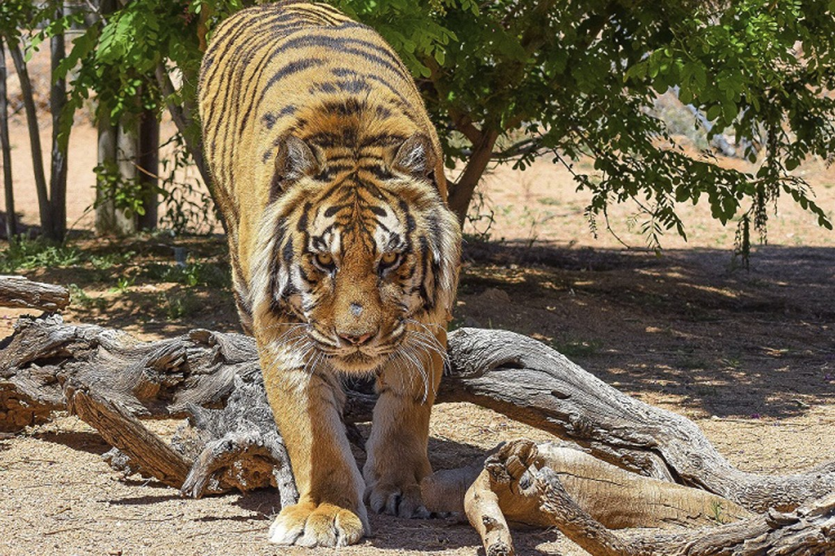 Bowie The Bengal Tiger Photo Ap
