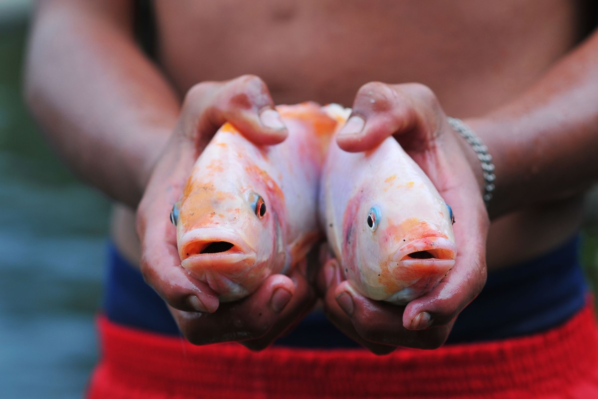 Tilapia, a fish to feed the world, and the deadly virus that