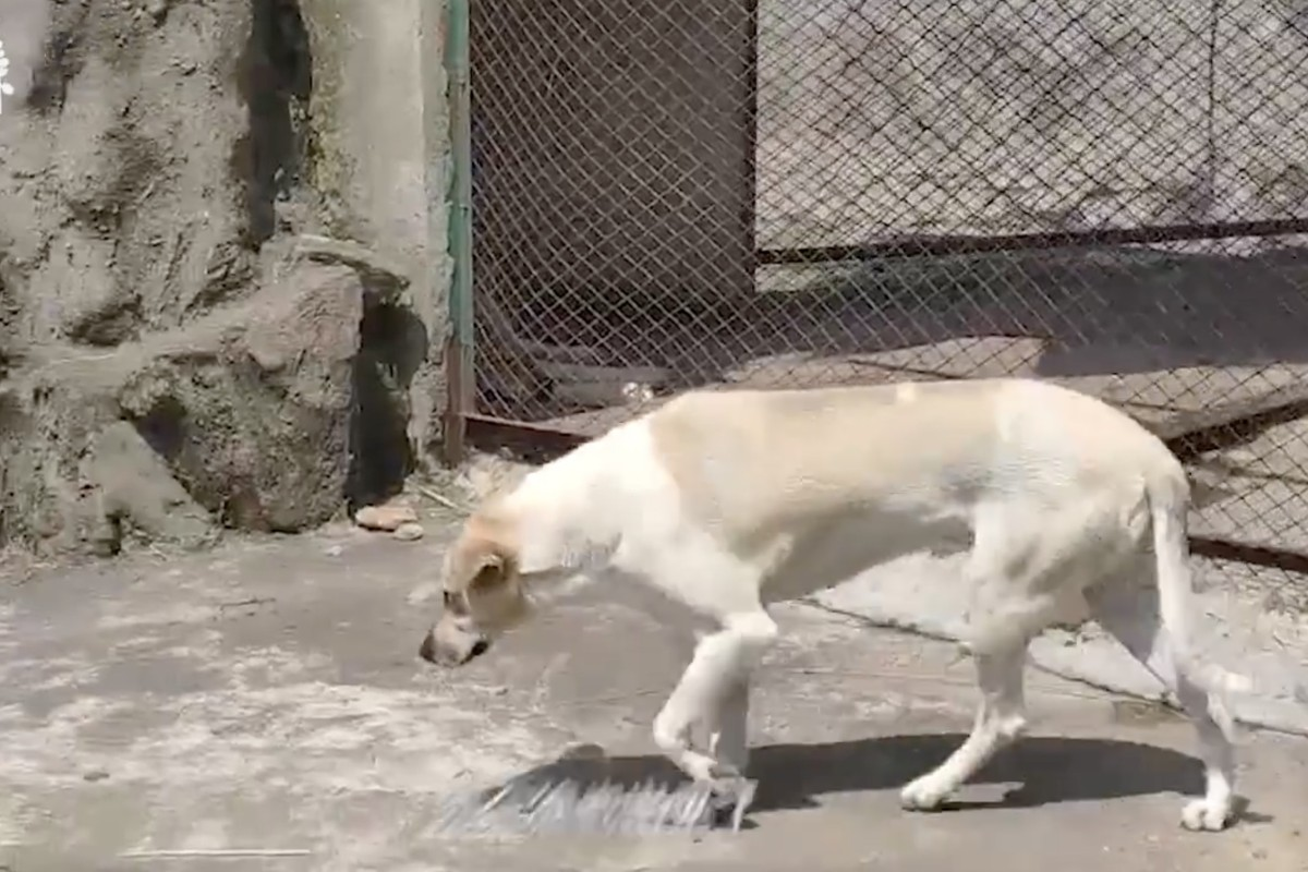 Animal Porn Wife Has Sex With Dog a wolf in dog's clothing? chinese zoo brings fake wildlife