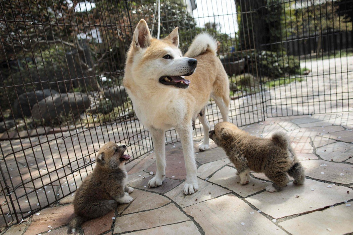 Japan's home-grown dogs may be national treasures but they