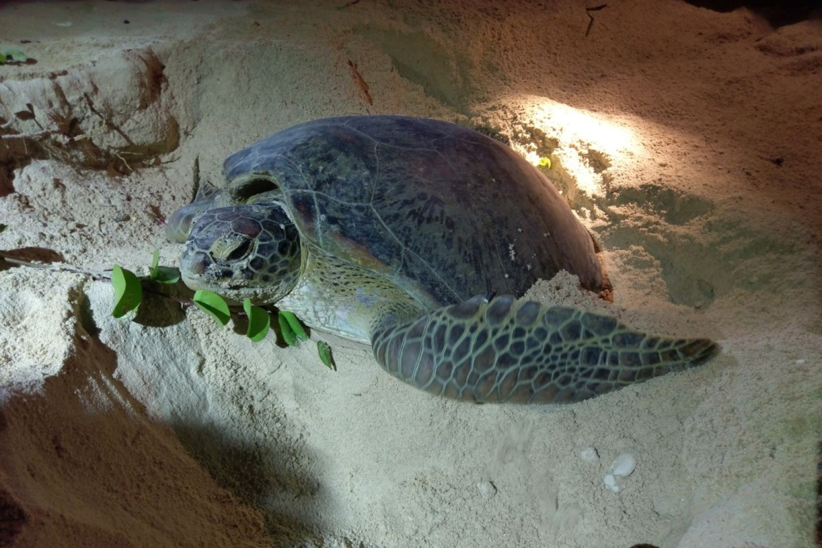 78a36e44096cf Sham Wan on Lamma Island is the only regular nesting site of green sea  turtles in