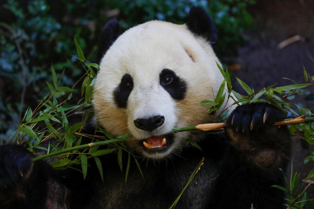 China creates facial recognition app – for pandas | South
