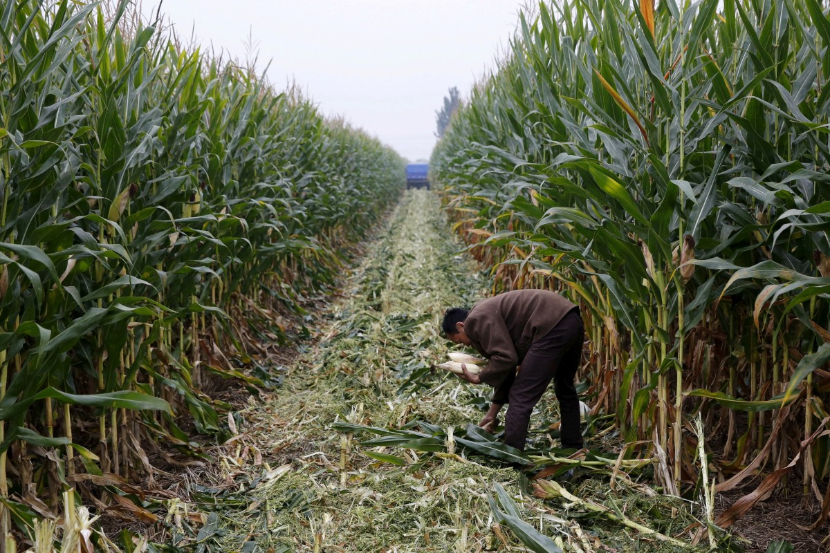 Armyworm to bite China's under pressure food supply within