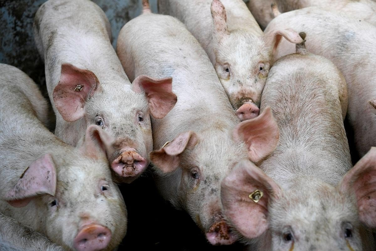 African Swine Fever To Kill Quarter Of World's Pig Population