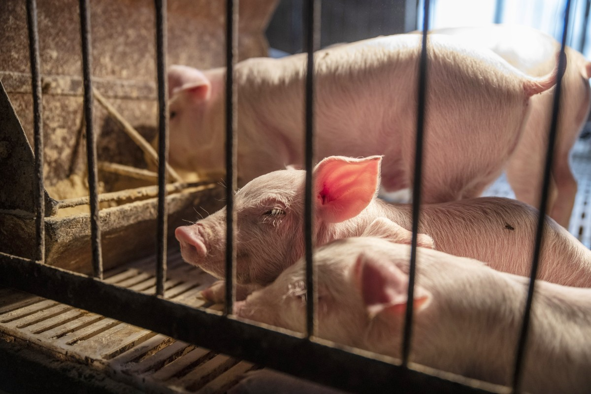 Piglets are kept in pens at a pig farm in Langfang in Hebei province on Monday, April 1, 2019. Photo: Bloomberg